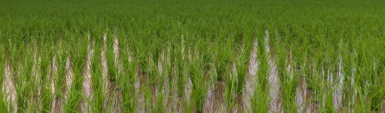 Reducción considerable del arsénico en el arroz gracias al riego por goteo